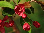 粉色海棠花唯美摄影图片