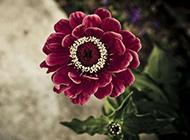 紫月季花图片优雅动人