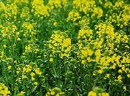 油菜花图片春日美景摄影素材