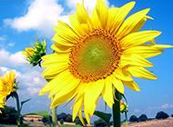 向日葵人生唯美植物特写图片