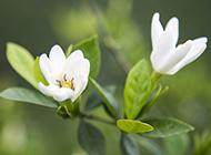 盆栽小叶栀子花图片洁白无瑕