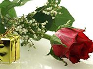 美丽的红玫瑰和礼物摄影图片
