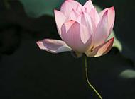 水塘中的粉红莲花图片