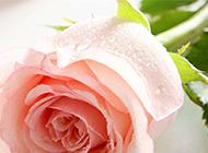 布满水珠的粉玫瑰图片素材