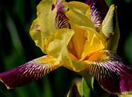 色彩绚丽的鸢尾花图片