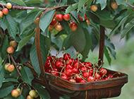 成熟的红樱桃树图片赏析