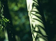 修长挺拔的竹子图片