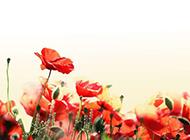 唯美红色罂粟花背景图片素材