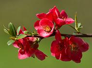 银星海棠花图片冰清玉洁