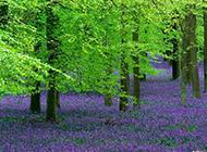 绿树丛里的薰衣草图片