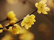 大雨后的黄色梅花图片
