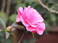 粉红色山茶花实拍图片