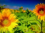 金黄灿烂的向日葵图片素材