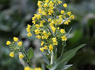 春天的油菜花图片欣赏