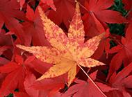秋天枫叶壁纸鲜红夺目