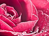 艺术的结晶欧美红玫瑰素材