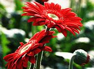 非洲菊爭奇斗艷的圖片素材