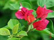 三角梅观赏植物图片欣赏