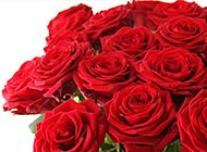 情人节红玫瑰花图片素材