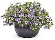 紫色矮牵牛花盆栽图片