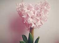 风信子粉色花草图片素材