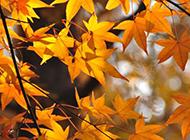 秋天唯美枫叶摄影图片