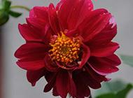 世界名花之一大丽花图片