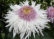 美丽的菊花超清特写图片