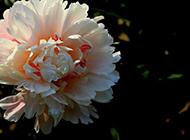 花朵硕大的芍药花摄影图片