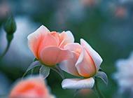 唯美綻放的粉色玫瑰高清圖片