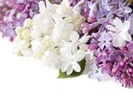 唯美丁香花背景图片
