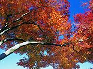 一树枫叶随风飞舞唯美图片