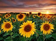 唯美向日葵背景图片精选分享