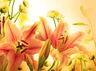 芬芳美丽的百合花素材背景