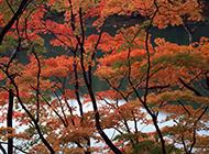秋天河邊的楓樹圖片