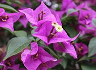 紫色三角梅图片特写