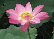 唯美盛开的粉红荷花摄影图片