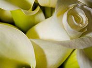 纯白玫瑰浪漫情人节图片素材