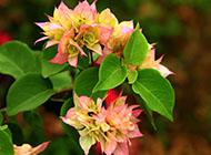 三角梅唯美花团锦簇图片赏析