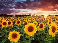 向日葵花图片优美鲜花背景素材