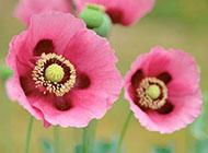 大红色大丽花图片精美高清植物壁纸
