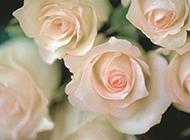 情人节唯美粉玫瑰高清大图