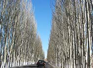 挺拔的白楊樹的精美圖片素材