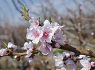 粉嫩娇艳的桃花淡雅背景图片