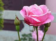 粉红月季花图片背景素材