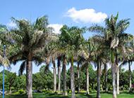 公園的棕櫚樹圖片高清