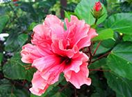 木槿花婀娜多姿图片赏析
