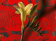 香雪兰花图片大全精选鲜花素材