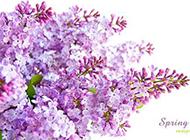 初春美丽的丁香花背景图片