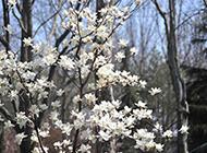 观赏价值高的白色玉兰花图片